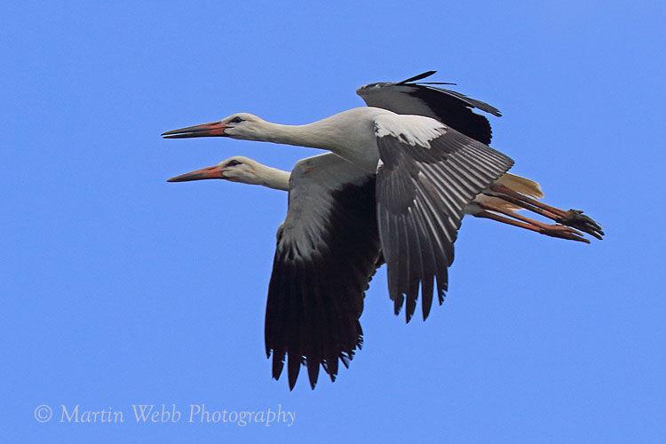 45688AC White Stork