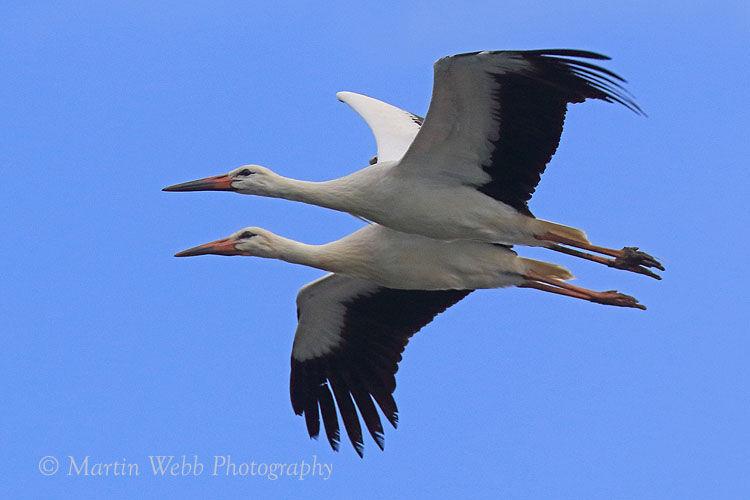 45689AC White Stork