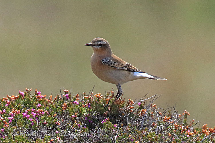 45767AC Northern Wheatear