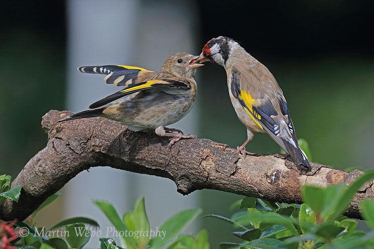 45817AC Goldfinch