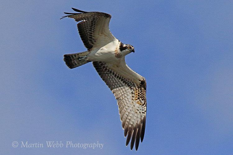 46057AC Western Osprey