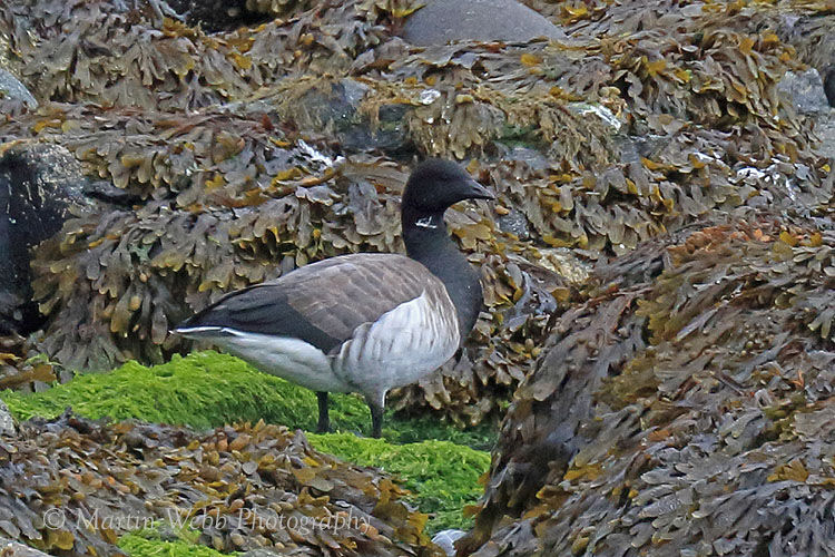 46196AC Pale-bellied Brent Goose