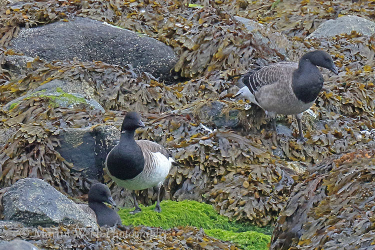 46205AC Pale-bellied Brent Goose
