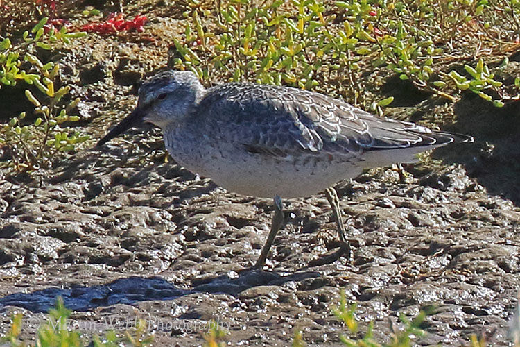 46285AC Red Knot