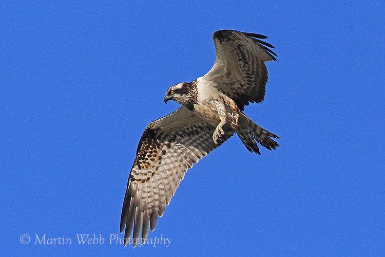 46441AC Western Osprey
