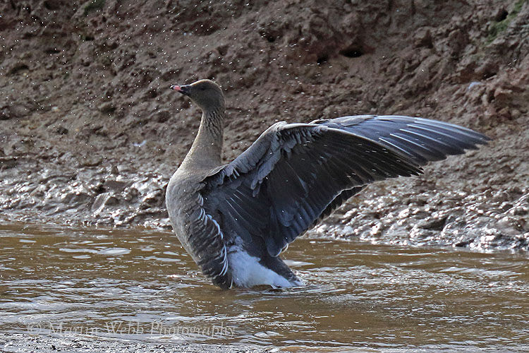 46492AC Pink-footed Goose