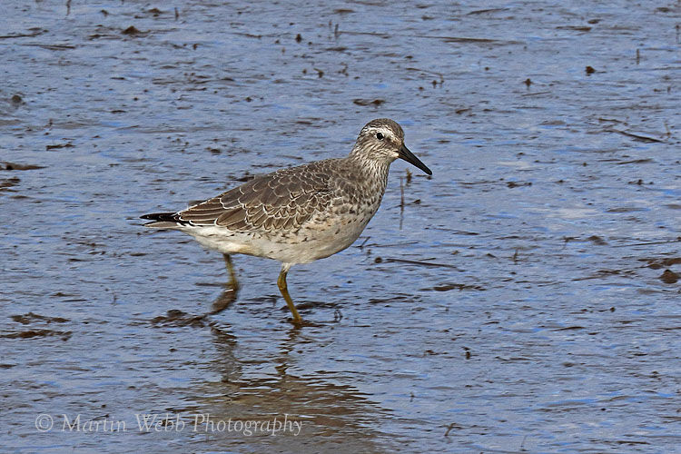 46615AC Red Knot