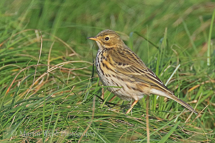 46755AC Meadow Pipit