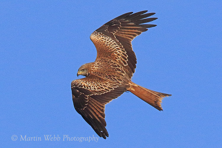 47148AC Red Kite