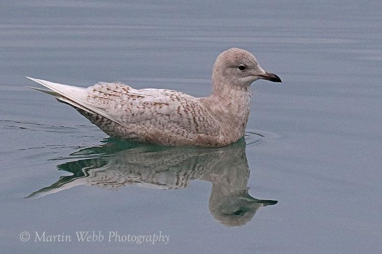47349AC Iceland Gull