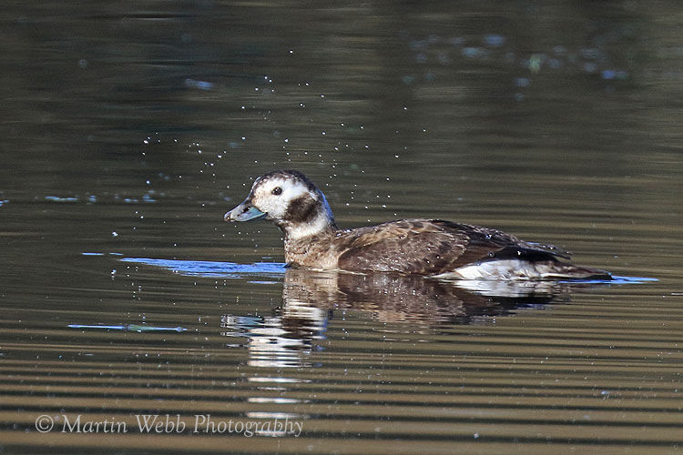 47482AC Long-tailed Duck