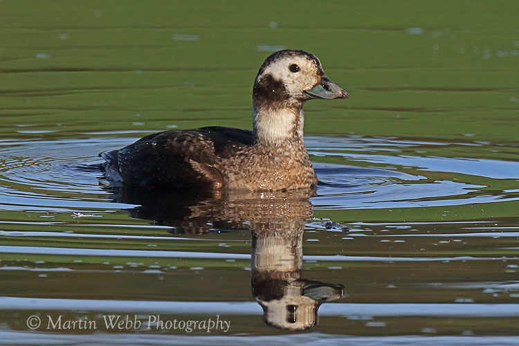 47492AC Long-tailed Duck