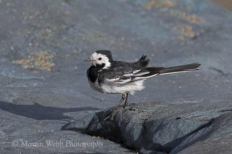 47914AC Pied Wagtail