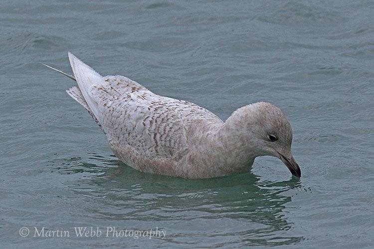 47982AC Iceland Gull