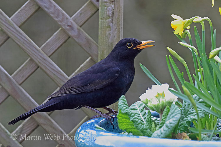 48078AC Blackbird