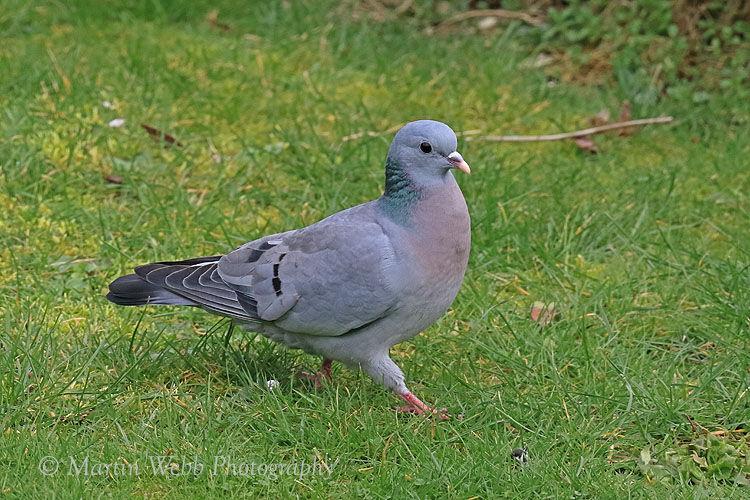 48093AC Stock Dove