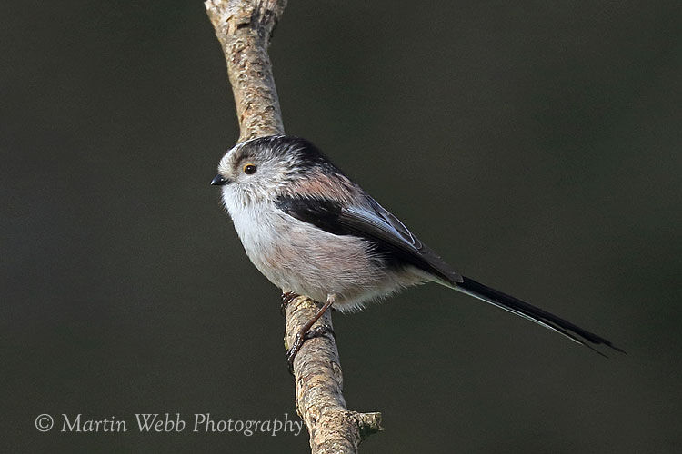 48345AC Long-tailed Tit