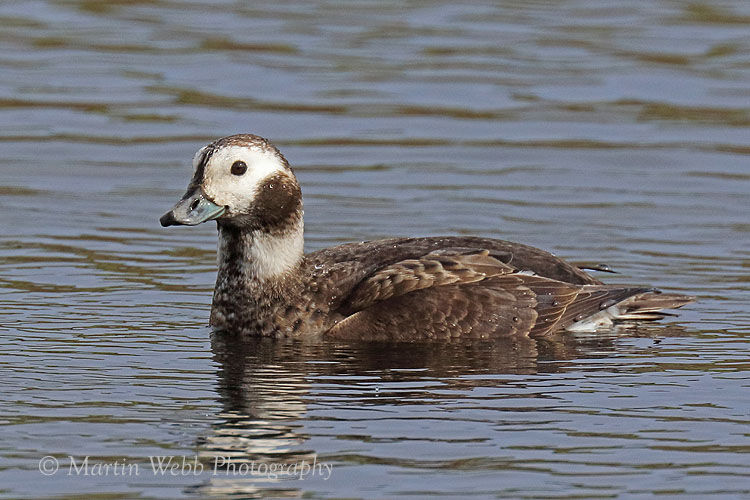 48400AC Long-tailed Duck