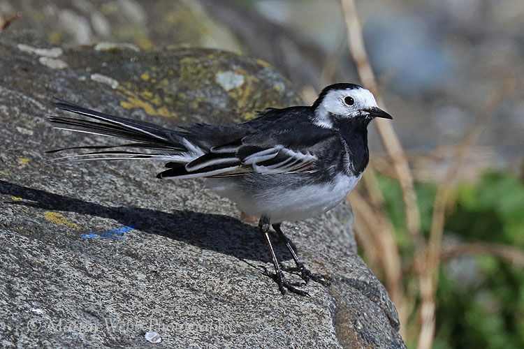 48457AC Pied Wagtail