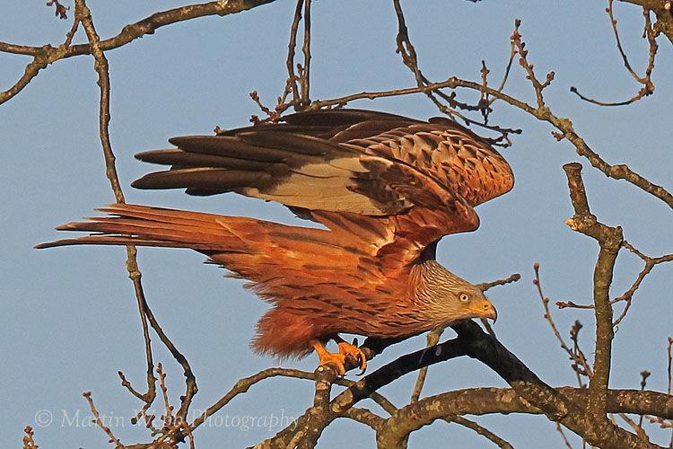 48633AC Red kite