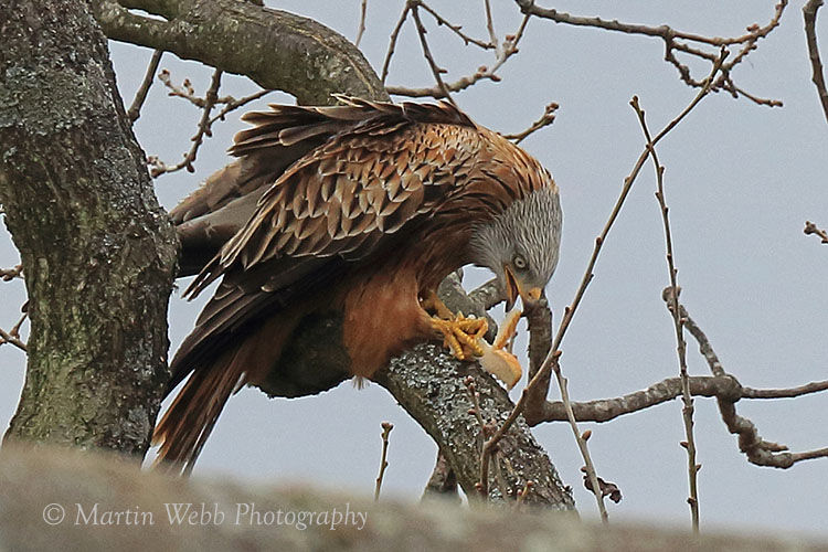 48838AC Red Kite