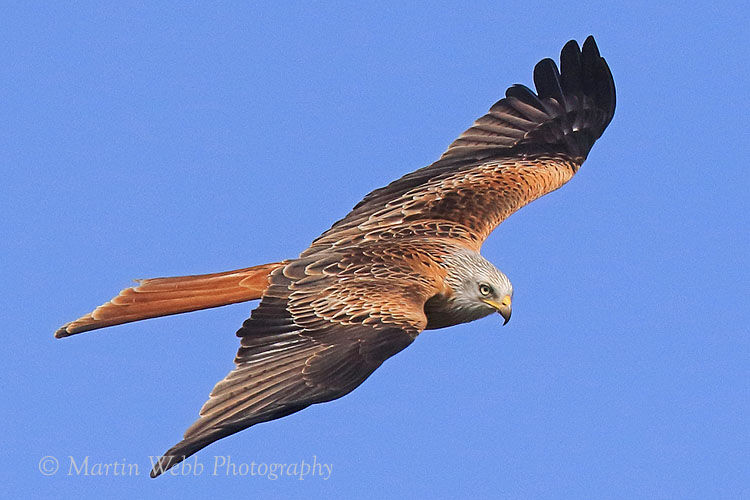 48878AC Red Kite