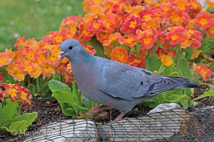 49137AC Stock Dove