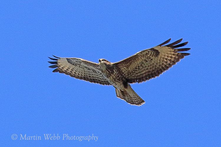 49198AC Common Buzzard