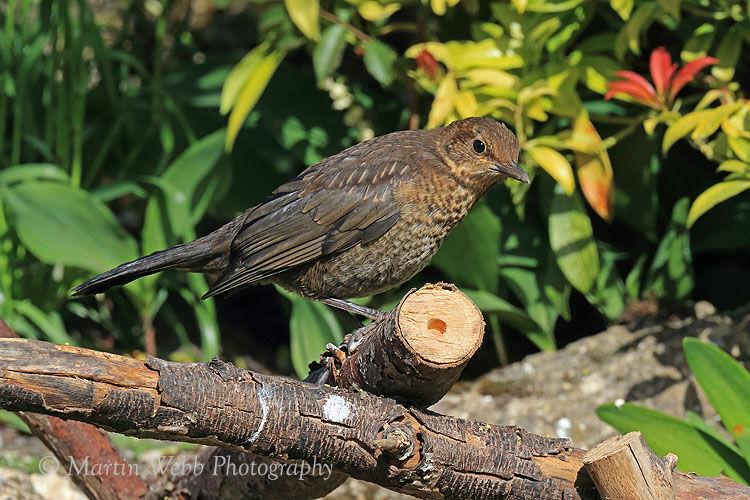 49667AC Blackbird
