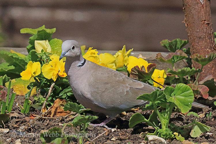 49827AC Collared Dove