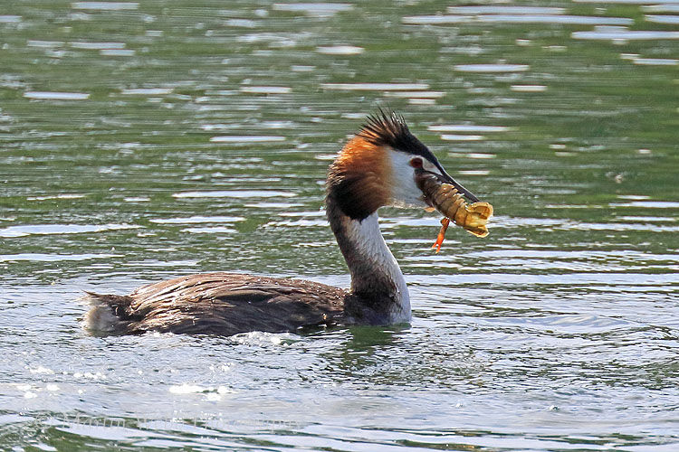49858AC Great Crested Grebe