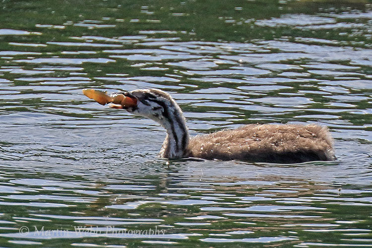 49859AC Great Crested Grebe