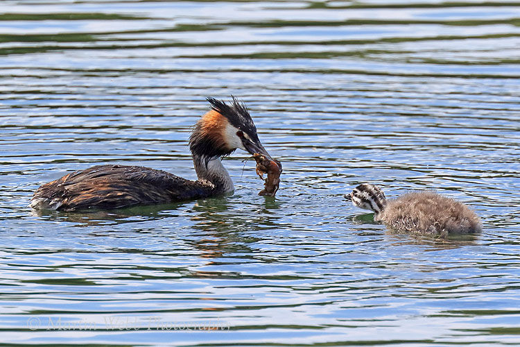 49860AC Great Crested Grebe
