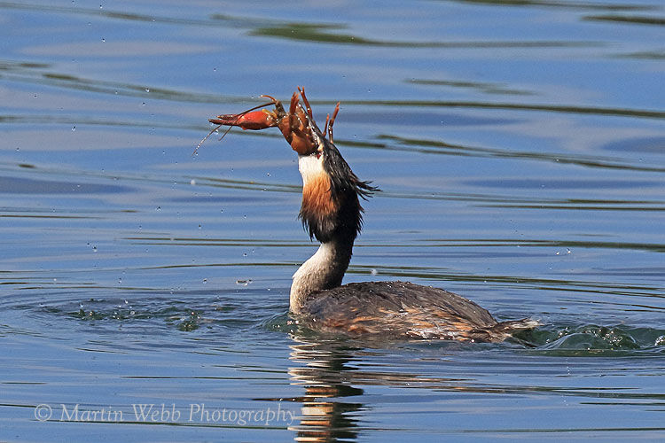 49870AC Great Crested Grebe