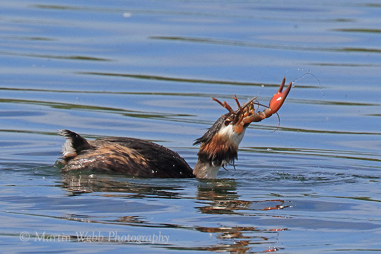 49872AC Great Crested Grebe
