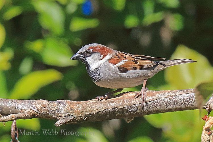 49942AC House Sparrow