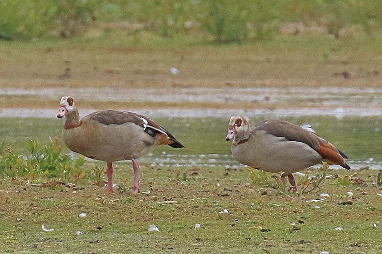 50098AC Egyptian Goose