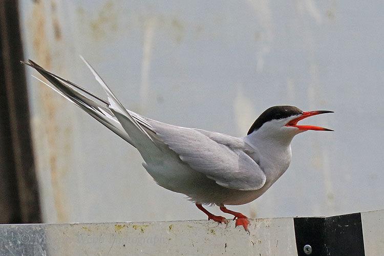 50114AC Common Tern