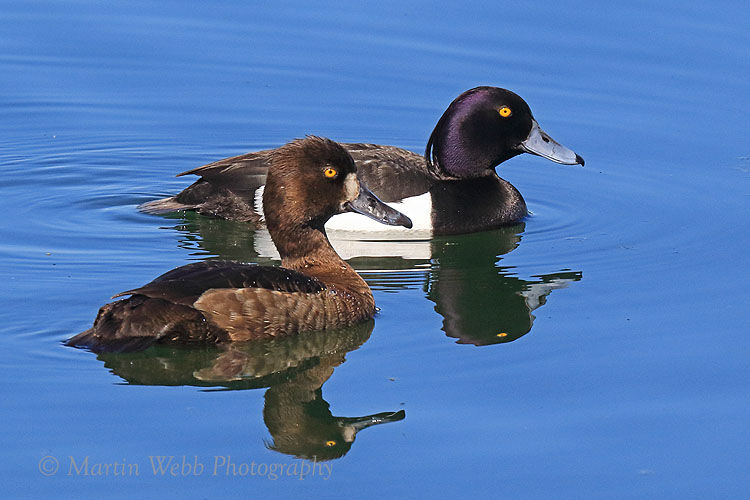 50221AC Tufted Duck