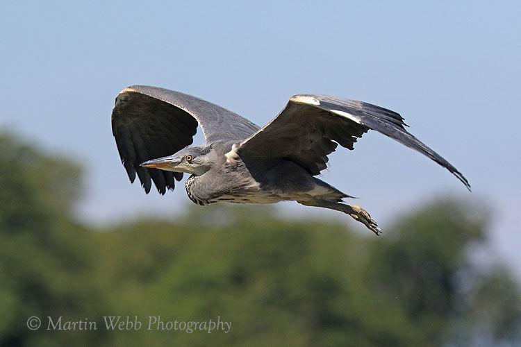 50246AC Grey Heron