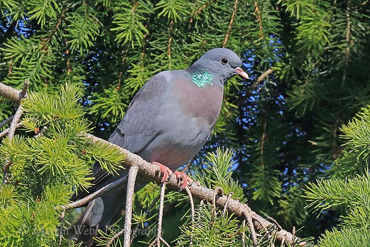 50318AC Stock Dove