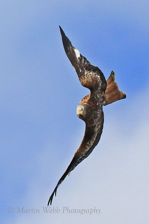 50541AC Red Kite