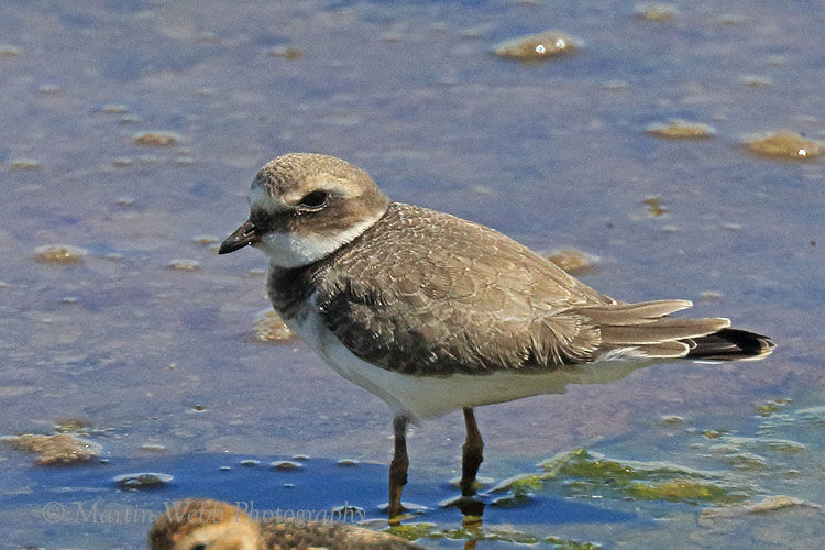 50633AC Ringed Plover