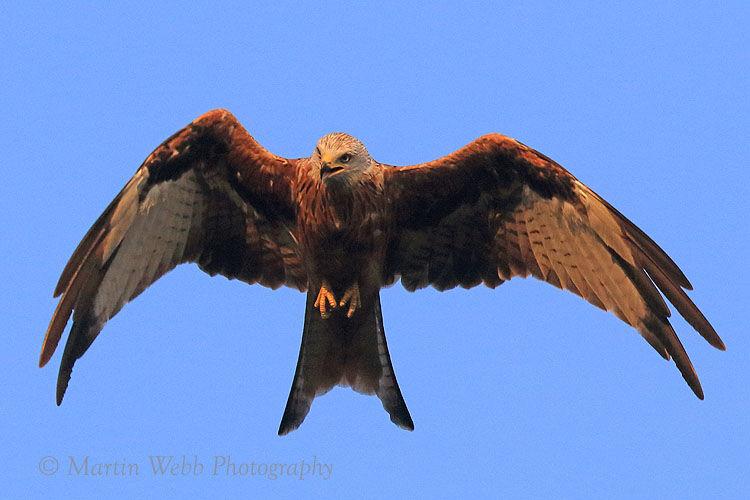 50788AC Red Kite