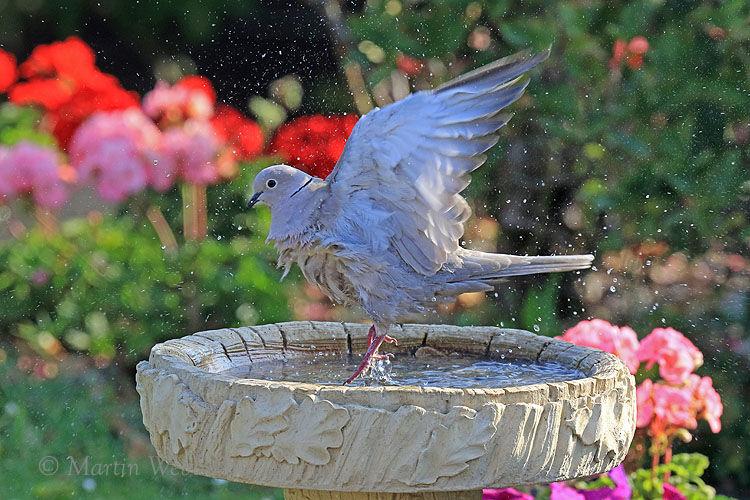 50793AC Collared Dove