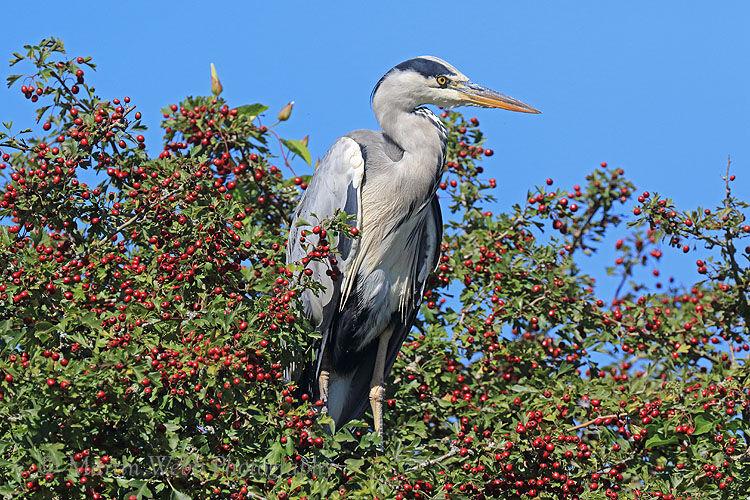 50926AC Grey Heron