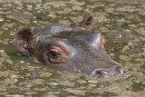 5096 Hippo Calf