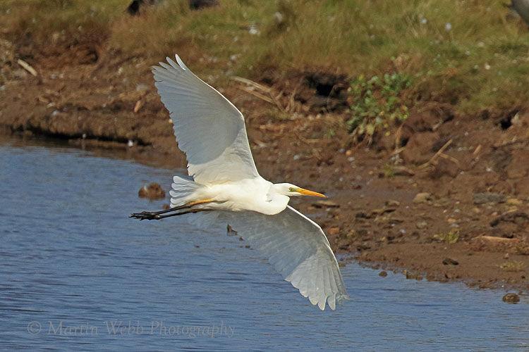 51061AC Great White Egret