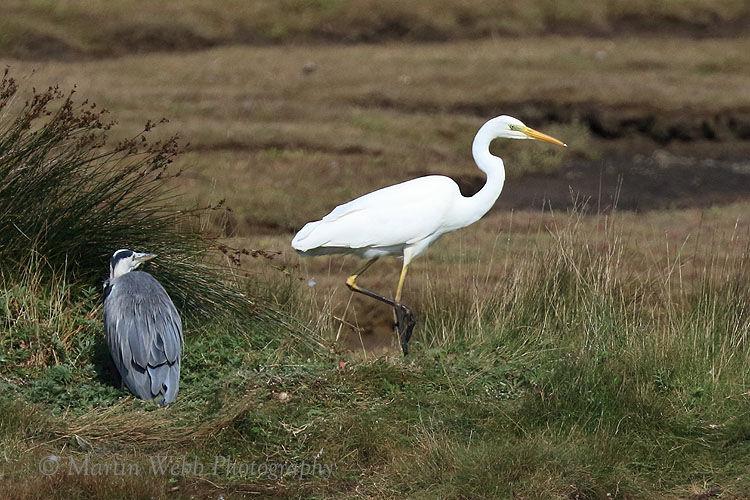 51067AC Great White Egret