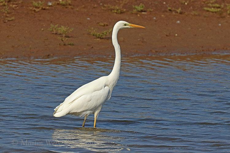 51076AC Great White Egret
